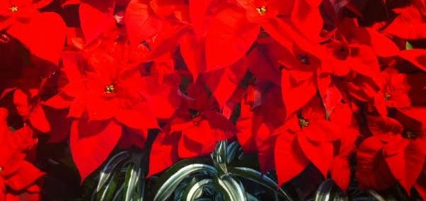 cropped-garden-lights-poinsettias.jpg